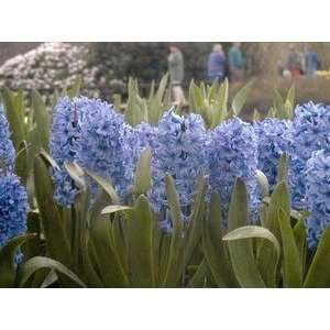 Hyacinth Sky Jacket 16 17 cm. 350 pack: Patio, Lawn