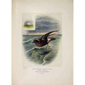 Storm Petrel Colour Antique Old Print Bird Fine Art
