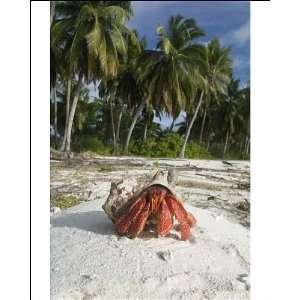 Red Hermit Crab in its habitat, emerging from its shell Photographic